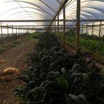 Invernadero de la granja orgánica